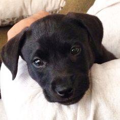 Harvey Baby. Black lab/ pit bull mix puppy