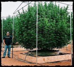 """La revista """"The Art of MaryJane"""" ha premiado a esta increible planta de marihuana, como el mejor exterior del año. Traemos información fresca desde Instagram.Hemos visualizado una imagen que vale más que mil palabras y responde a una de las muchas e inimaginables cuestiones de los usuarios del canna..."""