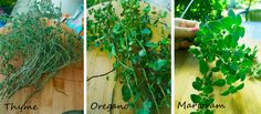 How to grow Thyme. Oregano and Marjoram