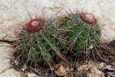 Melocactus Ernestii