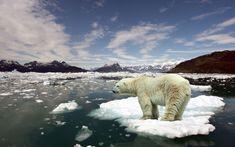 Polar Bear Ice #6995973