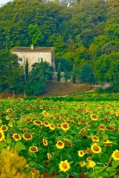 Sunflowers in Italy.