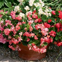 Begonia semperflorens 'Fairyland Mixed' - Half-hardy Annual Seeds - Thompson & Morgan