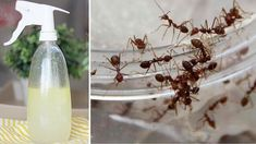 Make This Natural DIY Ant-Repellent Solution to Never See Ants in Your Home Ever Again! House Insects, Clove Essential Oil, Garden Guide, Stanford University, Natural Solutions, Pest Control, Ants, Organic Gardening, Candle Sconces