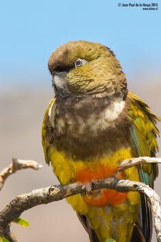 Burrowing Parrot - Loro Tricahue por Jean Paul De la Harpe · www.turismonacional.cl