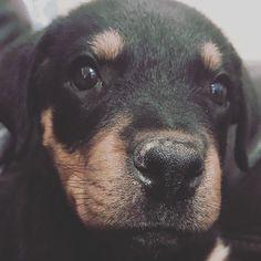 Questa meraviglia si chiama Dallas e la foto ce la mandano dall'Arizona  . . #Repost @dallasthedestroyer with @repostapp  Digging?? I have no idea what you are talking about.  #dallas #dallasthedestroyer #rottweiler #rottweilerpuppy #puppylove #puppy #rottie #dogsofinstagram #cane #instadog #bausocial #doglover #arizona #us #love  #puppiesofinstagram #dogs