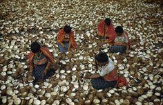 San Blas Indians crack coconuts for copra, Panama, Luis Marden.