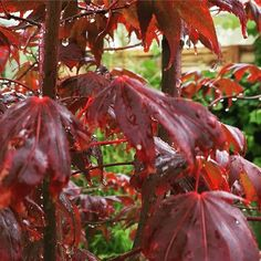 "Acer ""blood red"" #gardening #plants"