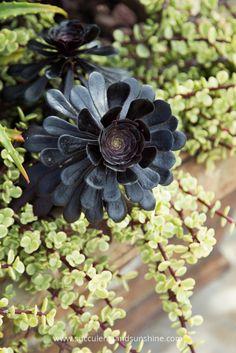 Aeonium Zwartkop and Portulacaria afra variegata
