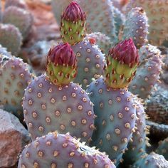 Cactus for your face? Prickly Pear Oil has superior hydrating, antioxidant and anti-aging properties. You can add it to any skincare routine as a serum, in addition to your serum or alone as a moisturizer. Cacti And Succulents, Planting Succulents, Planting Flowers, Cactus E Suculentas, Prickly Pear Cactus, Cactus Cactus, Cactus Decor, Cactus Plante, Indoor Cactus
