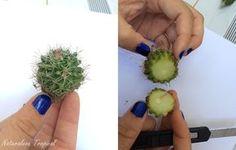Cortes que se le realiza al cactus que se va a injertar sobre la pitahaya, en este caso del género Mammillaria.