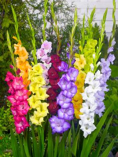 Gladioli - Mini Mix (15 or 50 Bulbs!) - Bulbs Direct