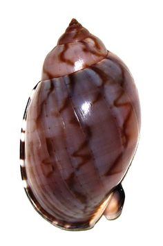 Casmaria Erinaceus Vibex