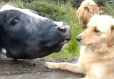 Cow loves dog, dog plays hard to get (VIDEO)