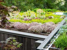 Parmi les plantes vedettes pour la réalisation de toitures végétalisées, les sedums figurent en excellente place. Il existe un très grand nombre d'espèces et variétés de sedum ! Ils sont variés, intéressants pour leur feuillage et leurs floraisons et surtout, sans aucun entretien ! A ces nombreuses qualités se rajoute le fait que le sedum …
