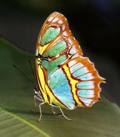The Malachite Butterfly (Siproeta stelenes)