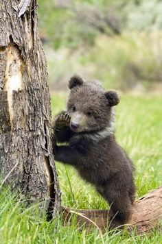 I am sure this grizzly bear cub is whispering secrets. Grizzly Bear Tattoos, Grizzly Bear Cub, Baby Bear Cub, Bear Cubs, Baby Bears, Polar Bear, Lion Cub, Tiger Cub, Panda Bear