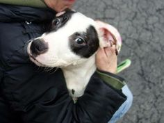 SAFE --- URGENT - Manhattan Center    MARION - A0995531   FEMALE, WHITE / BLACK, PIT BULL MIX, 4 yrs  STRAY - STRAY WAIT, NO HOLD  Reason STRAY   Intake condition NONE Intake Date 04/02/2014, From NY 10458, DueOut Date 04/05/2014,  https://www.facebook.com/photo.php?fbid=782530308426517&set=a.617938651552351.1073741868.152876678058553&type=3&permPage=1