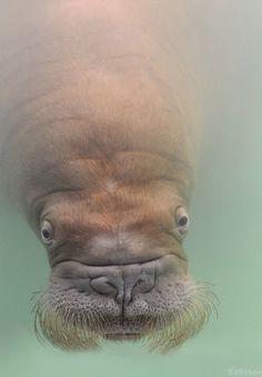 #walrus