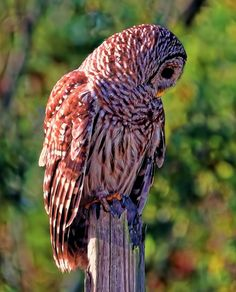 Barred-owl - In HDR cream photo!