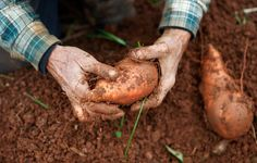 How To Grow Perfect Sweet Potatoes In Your Backyard  http://www.rodalesorganiclife.com/garden/how-to-grow-sweet-potatoes?utm_source=facebook.com