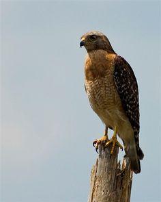 15 Best Hawks images in 2013   Birds of prey, Hawks, Kestrel