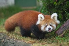A red panda walking in the grass.