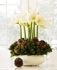 Seasonal Center Piece ~ Amaryllis bulbs, boxwood and pine cones