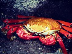 Sally Lightfoot Crab  of Galápagos Islands Ecuador  This crab is a quick-moving and agile crab hard to catch. It lives amongst the rocks just above the limit of the sea. It feeds on algae primarily and is not considered appropriate for human consumption.        #crab #crabshell #crab #incredibleanimals #animals #animal #animalsofinstagram #animalsofinsta #instacrab #crabsofinstagram #colorfulanimals #incrediblecolors #colorful #crustacés #shellfish #crabitat #sallylightfootcrab #redrockcrab…