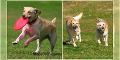 How Much Exercise Does A #Labrador Require? #dogbreedsinindia