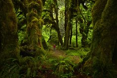 https://flic.kr/p/twhMJY | Lost world (Explored).                                                   fb.com/sapnareddyphotography | Hoh forest, Olympic National Park, Washington
