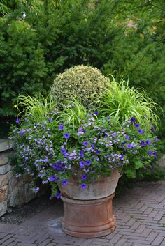 I love boxwoods in containers...grass, scaevola and petunias surround the variegated boxwood.