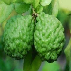 Citrus hystrix (Combava) Graines
