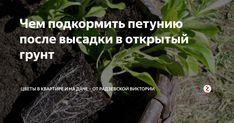Петунию после высадки в открытый грунт необходимо обязательно подкармливать. С внесенными удобрениями растение будет намного лучше расти и цвести. Рассмотрим, чем подкормить петунию после высадки в грунт.