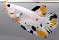 Fish Face, Fishing World, Beta Fish, Siamese Fighting Fish, Beautiful Fish, Aquarium Fish, Creatures, Fancy, Aquascaping