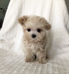Maltipoo puppy for sale in LOS ANGELES, CA. ADN37392 on