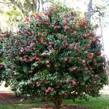 Image result for camellia japonica trees