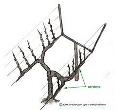 u-shaped or lyre trellis