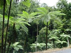 Alsophila australis