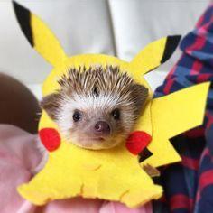 Pikachu hedgie!