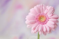 An anecdote for a rainy day! …(RE&D) Her name is Happy Flowers. Pretty Pastel, Pink Flowers, Beautiful Flowers, Happy Flowers, Pastel Pink, Pink Gerbera, Pink Daisy, My Flower, Flower Power