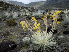 Plants: Lonely outposts of life, 9,094-foot-high (2,772-meter-high) Mount Roraima and related sandstone tepuis lift harshly beautiful worlds into the sky. (Venezuela)