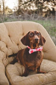 """This is Theodore, our """"mini"""" Dachshund. He's one of our handsome boys :] (My husband is a Roosevelt family fan. Our other dog's name is Fran..."""
