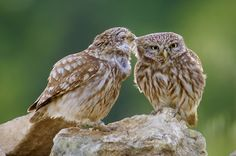It's+cuddle+time+for+these+little+owls