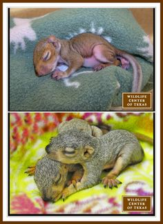 The Wildlife Center of Texas Rehabilitates Squirrels