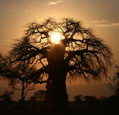 baobab - Tanzania