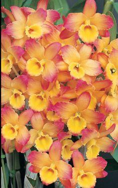 den. oriental smile 'fantasy' #pavelife #garden #flowers