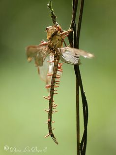 Entomopathogenic fungus in dragonfly - These fungi usually attach to the external body surface of insects in the form of microscopic spore. In biology, a spore is a reproductive structure that is adapted for dispersal and surviving for extended periods of time in unfavorable conditions...(usually asexual, mitosporic spores also called conidia). Under permissive conditions of temperature and (usually high) moisture, these spores germinate, grow as hyphae and colonize the insect's cuticle.