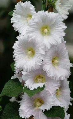Hollyhock One of my favorite flowers ~!