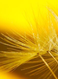 Dandelion Fluff on Yellow